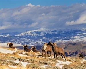 Bighorn rams, Whiskey Mountain, near Dubois, Wyoming.