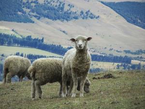 sheep-393366_640