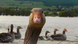 goose-178143_640